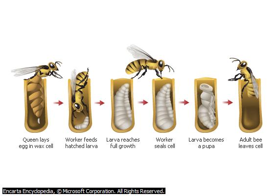 Lebah Madu Dari Telur hingga Dewasa