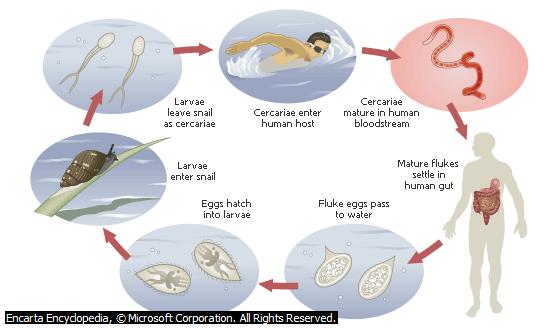 Siklus Hidup Cacing Darah Manusia